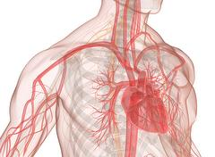 Heart, veins and blood circulation