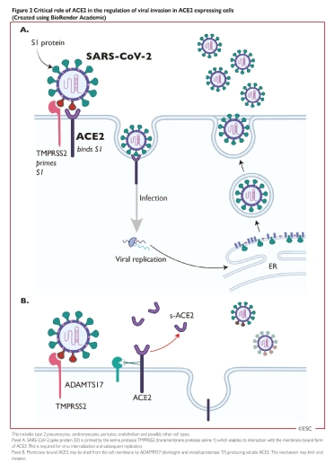 <b>Figure 2</b> Critical role of ACE2 in the regulation of viral invasion in ACE2 expressing cells (Created using BioRender Academic).