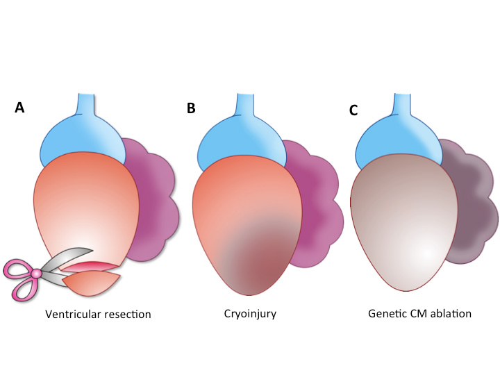 Heart Regeneration Dream Or Reality